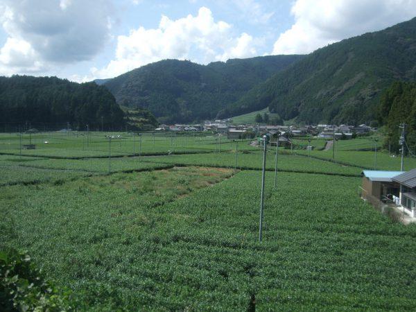 お茶畑が続く風景